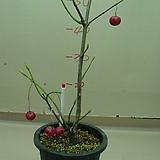 오오쯔리바나#2-진궁의변종-500원크기열매