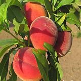 백도복숭아나무(마도까)접목1년/복숭아나무묘목 [그린샵]