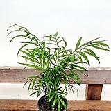 공기정화식물 테이블야자 수경재배|