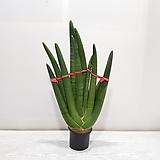 손바닥스투키 2촉/공기정화식물/반려식물/온누리 꽃농원|Sansevieria Stuckyi