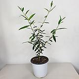 올리브나무 올리브 공기정화식물 사진상품발송|