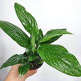 흰무늬스파트필름 무늬스파트 스파트필름 공기정화식물 단독판매|