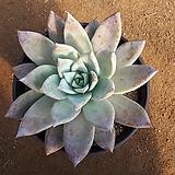 멕시코 자이언트 대품|Echeveria Mexican Giant