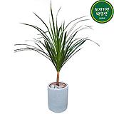드라코(중대) 개업축하화분 거실식물 관엽 일자형|