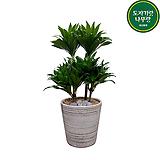 드라세나 콤팩타 가정용 개업축하용 공기정화 관엽식물|Dracaena