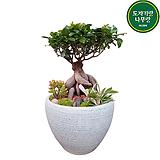 인삼팬더 고무나무 분재 승진 개업 축하화분|Ficus elastica