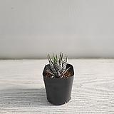 지브라/공기정화식물/반려식물/온누리 꽃농원|