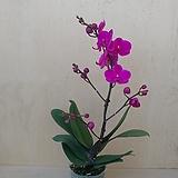 호접란 만천홍 