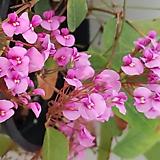 진분홍싸리-꽃대가득-아름답습니다.|