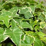 아이비-은옥#1-옥구술이 담겨있는 걸이식물|Heder helix