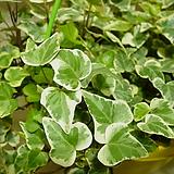 아이비-은옥#3-옥구술이 담겨있는 걸이식물|Heder helix
