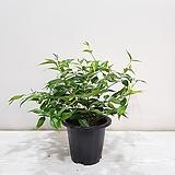 별자스민/공기정화식물/반려식물/온누리 꽃농원|