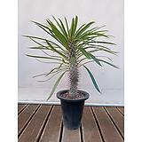 라메리 사막야자수 선인장기우기 다육식물 랜덤상품