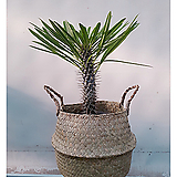 라메리선인장+해초바구니세트 화초 다육식물 사막야자수|