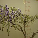 천년송 자등1번-한국토종 꽃많이 피는 품종|