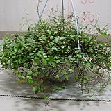 트리안#2-방안의 반려식물-공기정화|Muehlenbekia complexa
