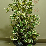 스윗하트고무나무#6번-국내최고상품 최저가격-동일상품발송|Ficus elastica