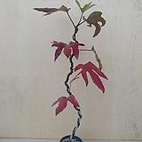 (단품)황칠나무 