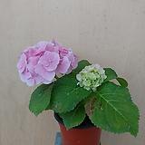 (단품)분홍수국 Hydrangea macrophylla