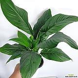 센세이션스파트필름 스파트필름 중품 공기정화식물|
