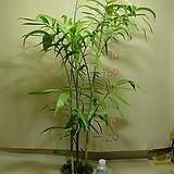 세이브릿지야자#1번-높이100-실내식물최고-동일품배송|