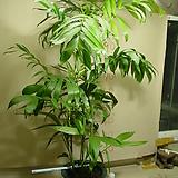 세이브릿지야자#2번-높이150-실내식물최고-동일품배송|