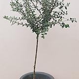 [단품할인]올리브나무 