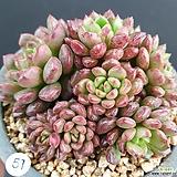 핑클루비 군생|Sedeveria pink rubby