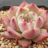 Echeveria colorata