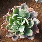 잎장에 변이가 온 러우금 군생|Echeveria Luella