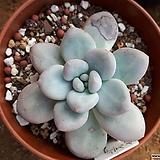 묵은 후레뉴|Pachyphytum cv Frevel