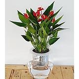 안시리움세트/가습기/공기정화식물/천연가습기/식물/나라아트|Anthurium andraeaeanum