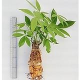 파키라/공기정화식물/미세먼지/천연가습기/가습기/나라아트|