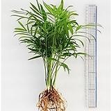 테이블야자/가습기/천연가습기/공기정화식물/나라아트|
