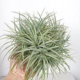 휴스톤 틸란드시아 휴스턴 공기정화식물 미세먼지제거식물 사진상품발송|Tillandsia