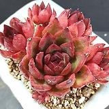 원종누브라 군생 묵은둥이|Echeveria agavoides Rubra