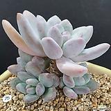 후레뉴 5두군생|Pachyphytum cv Frevel