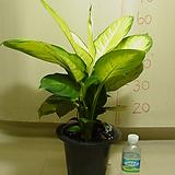 마리안느#3-공기정화식물 미세먼지제거-동일상품발송|