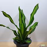 맛상게아나 행운목 맛상 공기정화식물|