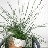 준쿠스 스프링골풀 공기정화식물|