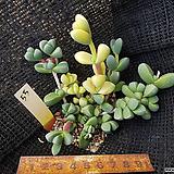 벽어연금55|Corpuscularia lehmanni