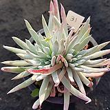 천녀검31|Titanopsis calcarea