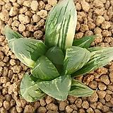 삼각창 옵튜샤 금|Haworthia cymbiformis var. obtusa