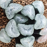 츠카라 오로라 실생 (여명)|Sedum rubrotinctum cv.Aurora