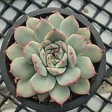 황홀한 연꽃 금 묵은둥이_y75|Echeveria pulidonis