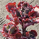 크리노라인 (특대품)(왕목질)(자연군생) 66.10 1130|Echeveria Crinoline