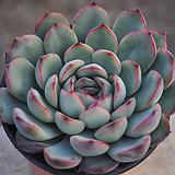 황홀한연꽃(W128)|Echeveria pulidonis