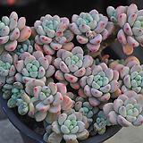 핑크라울(W133)|Sedum Clavatum