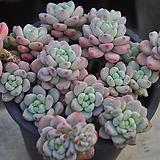 핑크라울(W134)|Sedum Clavatum