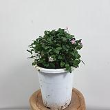 풍로초(근상,겹,핑크)|